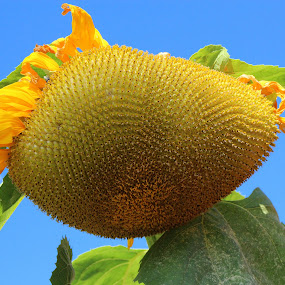 The end of a sunflower by Rhonda Mullen - Nature Up Close Flowers - 2011-2013 ( 10-02-2012 bike path, fishing lake, , Hope )