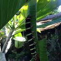 Plumeria Moth