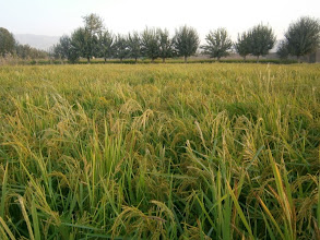 Photo: SRI rice fields in Taloqan, Takhar, Afghanistan. [ Photo Courtesy of Ali Muhammad Ramzi, 2013]