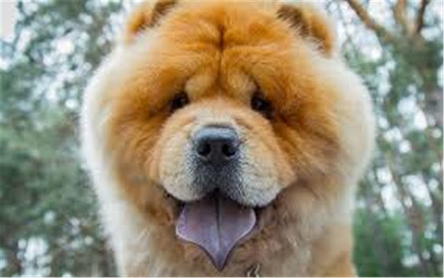 Chow Chow Themes & New Tab