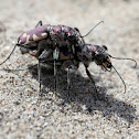Eastern Sand Tiger Beetles