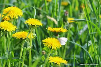 Photo: Moths looove dandelions