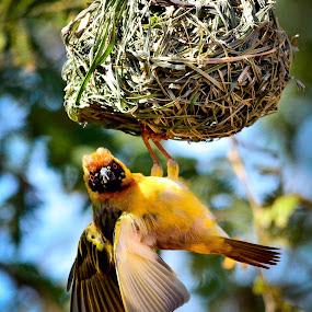 Southern Masked Weaver by Hannes van Rooyen - Animals Birds ( water, male, nest, adult, swartgesigwewer )