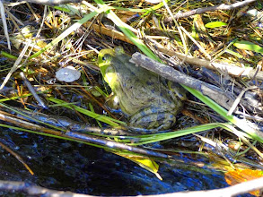 Photo: Big ol' bullfrog.