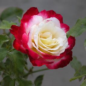 Presidential Rose by Debbie Salvesen - Flowers Single Flower ( president, rose, red, single flower, california, white, rose garden, flowers, , #GARYFONGDRAMATICLIGHT, #WTFBOBDAVIS )