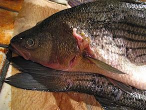 Photo: striped bass