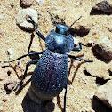Winged Darkling Beetle