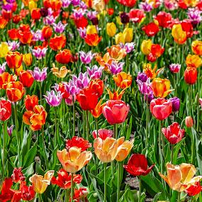 by Thomas Lane - Flowers Flower Gardens (  )