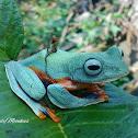 Javan Gliding Tree Frog