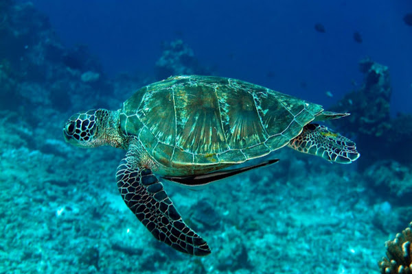 Spot sea turtles at Surin Islands