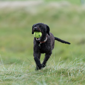 Labradoodle Fetch 3 of 4 by Anthony Ashcroft - Animals - Dogs Running ( fetch, ball, grass, labradoodle, running, cornwall, playing, shallow dof, d750, puppy, nikon, dog, tennis ball, black,  )