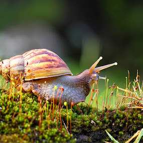 OBSTACLES! by Lessy Sebastian - Animals Other ( shell, obstacle, slow, snail, antena )