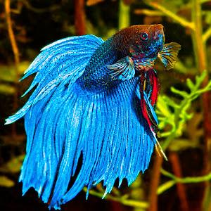 blu beta swim frwd up.jpg