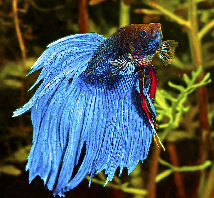 Blue Siamese fighting fish by David Winchester - Animals Fish (  )