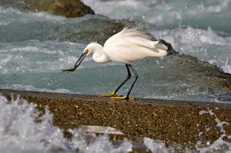 Photo: 撮影者:村山和夫 コサギ タイトル:コサギの餌の採り方 観察年月日:2016年10月16日 羽数:1羽 場所:淺川/淺川橋下流200M 区分:行動 メッシュ:八王子6K コメント:水量が増えて流れが速く、とても泳いでいる魚は捕らえられない。堰の上で、それでもコサギはじっと待っている。コサギが急に堰の上を走り魚を咥えた。流れの勢いで堰の上に跳ね上げられる魚を我慢強く待って食べてました。