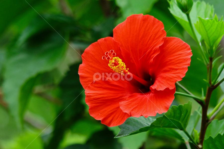 hibiscus rosa sinensis by Ronald Wahyudi - Nature Up Close Flowers - 2011-2013