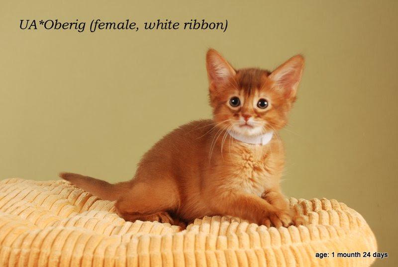 котенок сомали сорель