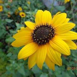 by Satyajit Mondal - Flowers Single Flower (  )