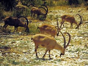 Photo: Stambecco nubiano (Capra ibex nubiana)