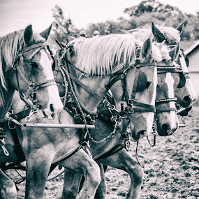 team work by Beth Krzes - Animals Horses ( farm, horses, balck and white, team,  )