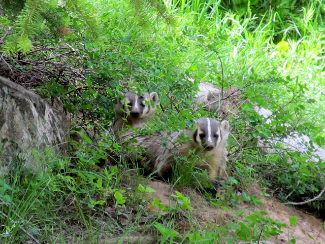 A pair of American badgers (Taxidea taxus)