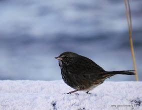 "Photo: The very dark ""Kenai"" race of the Song Sparrow"