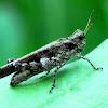 Carinate Locust