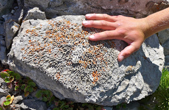Photo: Fossil coral in the Madison limestone.
