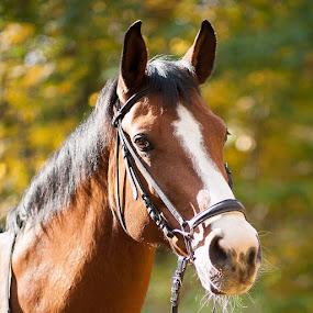 Autumn of  Riposta by Aleksander Cierpisz - Animals Horses