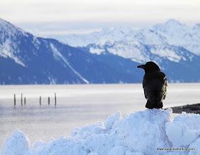 Photo: Northwestern Crow overlooking Resurrection Bay from the Seward harbor