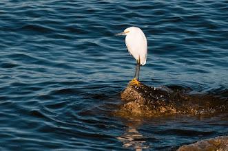 Photo: Snowy egret on rock