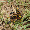 Black and yellow mud dauber