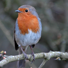WINTER FRIEND by Russell Mander - Animals Birds ( robin, perching bird, redbreast )