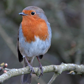 WINTER FRIEND by Russell Mander - Animals Birds ( robin, perching bird, redbreast )