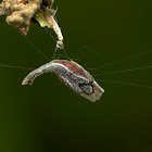 Scorpion Tailed Spider