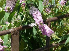 Photo: Ik kan maar niet vinden wat voor vlinder dit is.