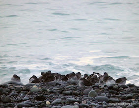 Photo: Small group of Rock Sandpipers on the shore of Kachemak Bay