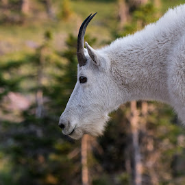 by Lyle Gallup - Animals Other ( mountain goat, white, animal, goat, wild )