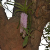 Fox tail Orchid