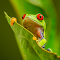 Red Eyed Green Tree Frog 6 Resized down for Pixoto.jpg