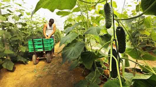 Mercadona comprará más de 4.400 toneladas de pepino de Almería para la campaña