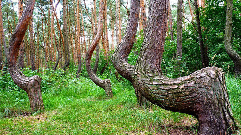 Crooked Forest, misteriosa floresta da Polônia