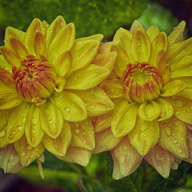 Yellow Couple by Marco Bertamé - Flowers Single Flower ( rain, couple, droplets, yellow, two, petals, pair, summer, side by side, blooming, close-up, bloom, dahlia, raindrops,  )