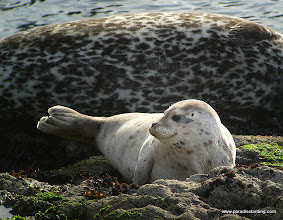 Photo: Baby harbor seal, Pt Lobos State Reserve, Monterey County.