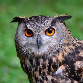 Owl by Piutie Kay - Animals Birds