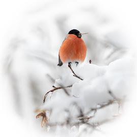 dompap i snø by Ingrid Holm Thorjussen - Animals Birds