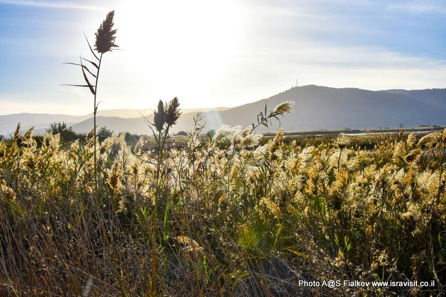 Пейзаж с тростником. Экскурсия в национальный заповедник перелетных птиц на озере Хула. Израиль.