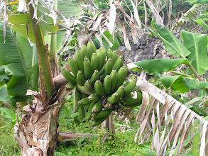 Photo: Зеленые-презеленые бананы!/Green bananas