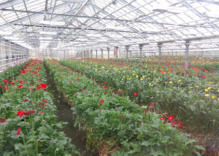 Photo: The original gerbera plants come from Denmark and produce flowers for two to four years.