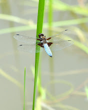 Photo: Broad Bodied Chaser